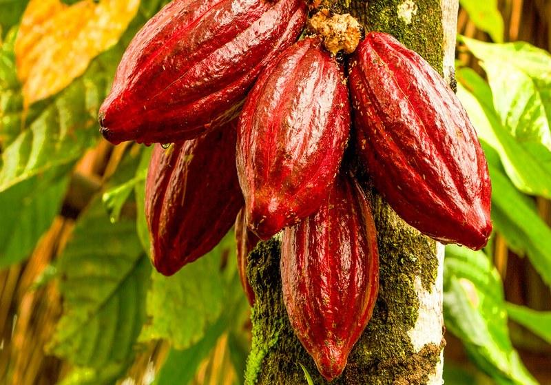 Come coltivare una pianta di cacao_800x559